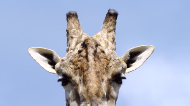 portrait of a giraffe in cabarceno natural park, pisuena valley, municipality of penagos, cantabria, spain, europe - giraffe stock videos and b-roll footage