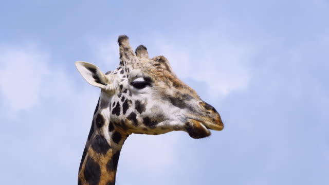 Portrait of a giraffe in Cabarceno Natural Park, Pisuena Valley, Municipality of Penagos, Cantabria, Spain, Europe