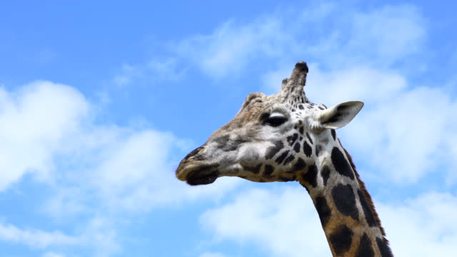 portrait of a giraffe in cabárceno natural park, pisueña valley, municipality of penagos, cantabria, spain, europe - zebramuster stock-videos und b-roll-filmmaterial