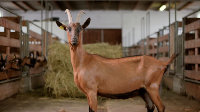 portrait of a goat standing in the middle of the barn - livestock tag stock videos and b-roll footage