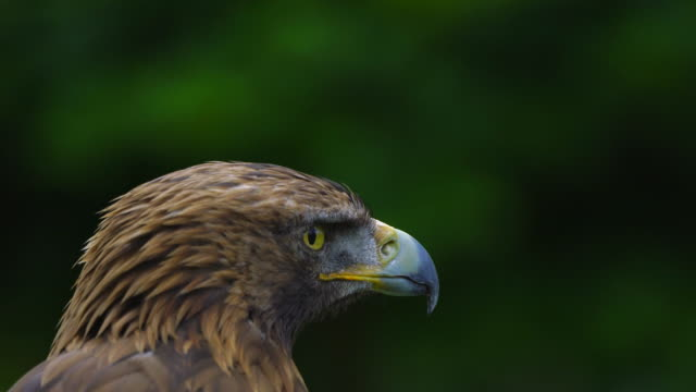 vidéos et rushes de portrait of a golden eagle (aquila chrysaetos), cabárceno natural park, pisueña valley, municipality of penagos, cantabria, spain, europe - aigle royal
