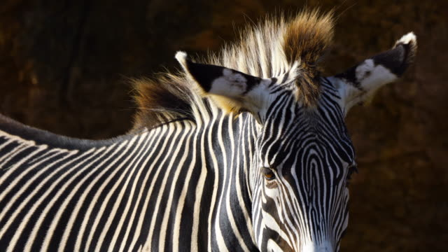 portrait of a grevy`s zebra, cabárceno natural park, pisueña valley, municipality of penagos, cantabria, spain, europe - zebramuster stock-videos und b-roll-filmmaterial