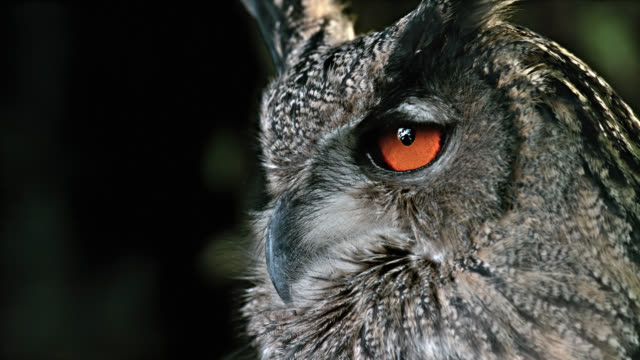 vidéos et rushes de slo mo portrait of a horned owl - animal mouth