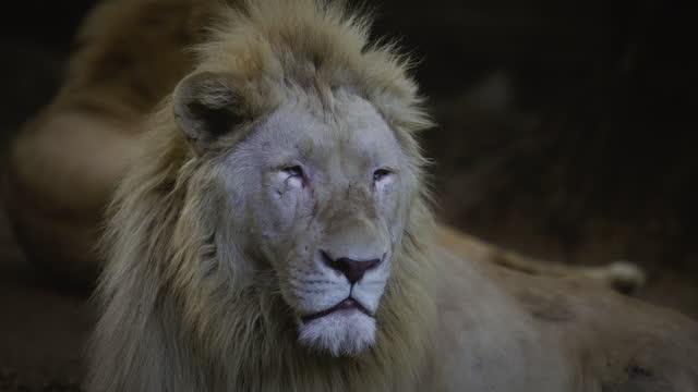 portrait of a lion. - animal behaviour stock videos & royalty-free footage