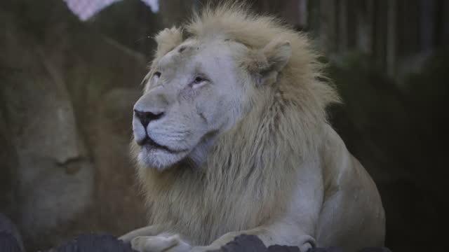 stockvideo's en b-roll-footage met portrait of a lion. - animal behaviour