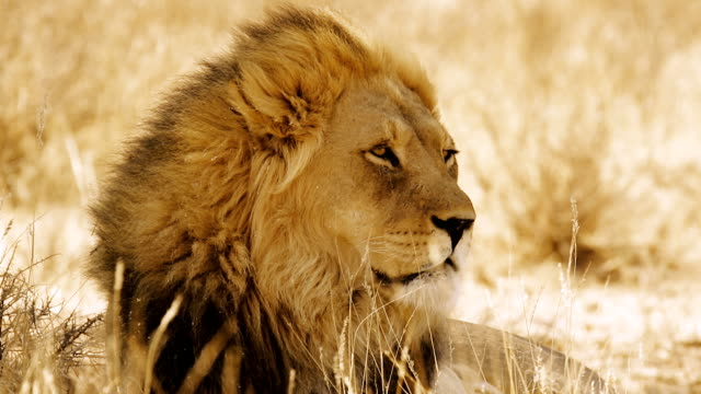 portrait of a lion - lion stock videos & royalty-free footage