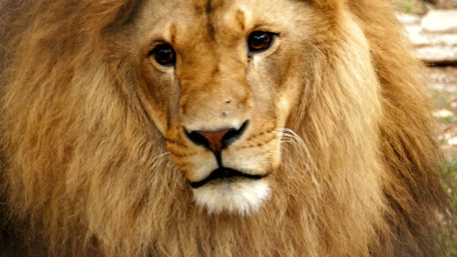 4k portrait of a lion - animals in the wild stock videos & royalty-free footage