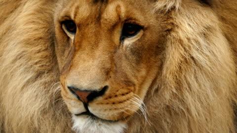 4k porträtt av ett lejon - animals in the wild bildbanksvideor och videomaterial från bakom kulisserna