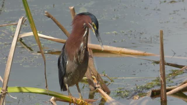 porträt von einem kleinen wetlands vogel thront auf einem reed mit blaue meer hinter ihm, wie er pflegt seine bunten federn - water bird stock-videos und b-roll-filmmaterial