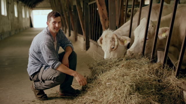 portrait of a male farmer feeding his cows some hay by hand in the barn - cattle stock videos & royalty-free footage
