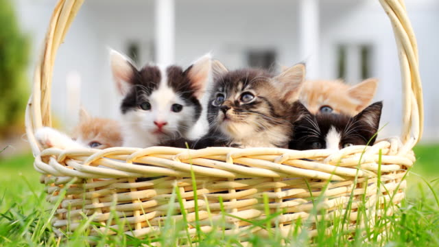 portrait of a many little cats in basket. - large group of animals stock videos and b-roll footage