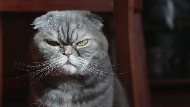 自宅でスコットランドの折り畳み猫の肖像画。 - ショートヘア種の猫点の映像素材/bロール
