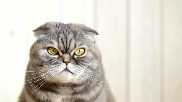 portrait of a scottish fold cat. - animal head stock videos & royalty-free footage
