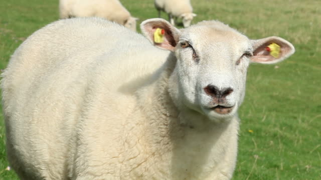 portrait of a sheep - einzelnes tier stock videos & royalty-free footage