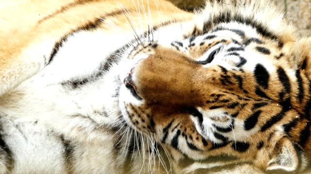 4K Porträt eines Tigers