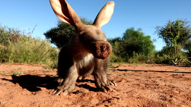 Portrait of Aardvark/African Ant bear(Orycteropus afer) sniffing the air