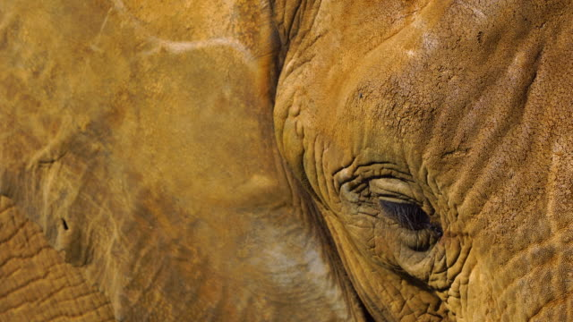Portrait of an african elephant, Cabarceno Natural Park, Pisuena Valley, Municipality of Penagos, Cantabria, Spain, Europe