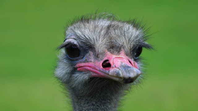 portrait of an ostrich in cabárceno natural park, pisueña valley, municipality of penagos, cantabria, spain, europe - 動物の頭点の映像素材/bロール