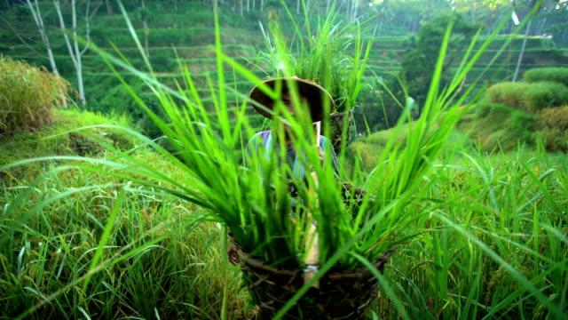 vidéos et rushes de portrait of bali man collecting rice plants indonesia - bamboo plant