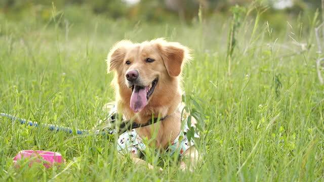 vídeos y material grabado en eventos de stock de retrato de un hermoso golden retriever sentado en la hierba - hierba familia de la hierba