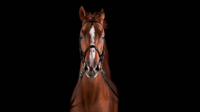 vídeos de stock, filmes e b-roll de slo mo retrato do cavalo marrom com juba lisonjeira - fundo preto