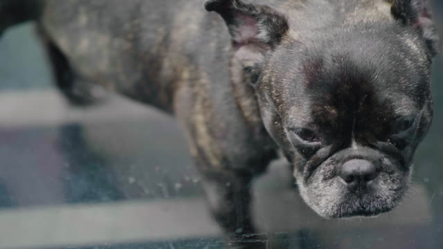 Portrait of Bulldog