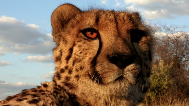 Portrait of cheetah with blue sky in the background