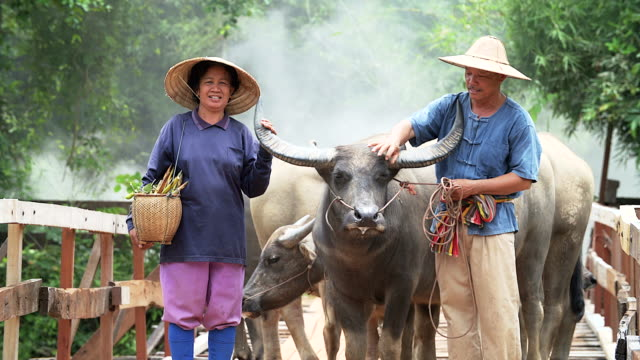 4k: portrait of couple farmer in front of their buffaloes in countryside. - animale femmina video stock e b–roll