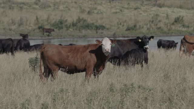 portrait of cow grazing with herd on field - nebraska stock videos & royalty-free footage