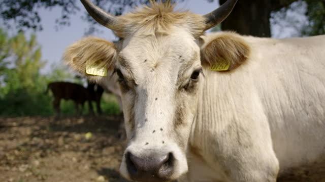 Portrait of cow in slow motion