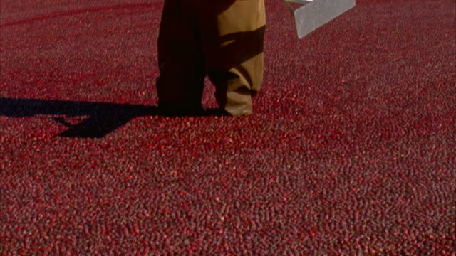 ms tu portrait of cranberry grower in cranberry bog / dennysville, maine, usa - walking in water stock videos & royalty-free footage