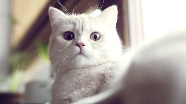 リビングルームで休んでいるかわいい英国のショートヘア猫の肖像画。 - ショートヘア種の猫点の映像素材/bロール