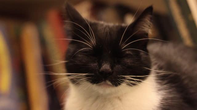 portrait of domestic cat falling asleep - schnurrhaar stock-videos und b-roll-filmmaterial