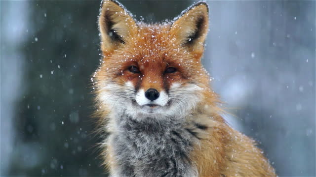 portrait of fox - fox stock videos and b-roll footage