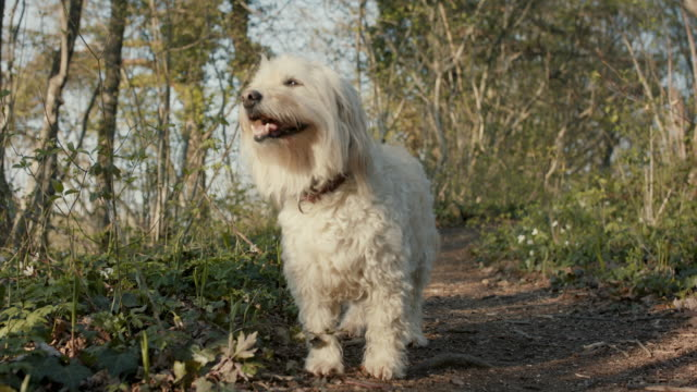 portrait of happy white fluffy dog in forest - animal hair stock videos & royalty-free footage