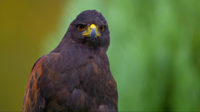 vídeos de stock e filmes b-roll de slo mo portrait of harris hawk - um animal