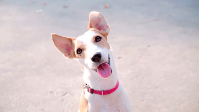 4k portrait of jack russell terrier dog curiosity looking to the camera - licking stock videos & royalty-free footage
