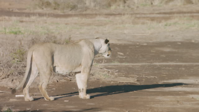 vidéos et rushes de ms portrait of lion walking on savanna landscape / kenya - beige