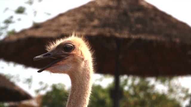portrait of ostrich bird head - emu stock videos & royalty-free footage