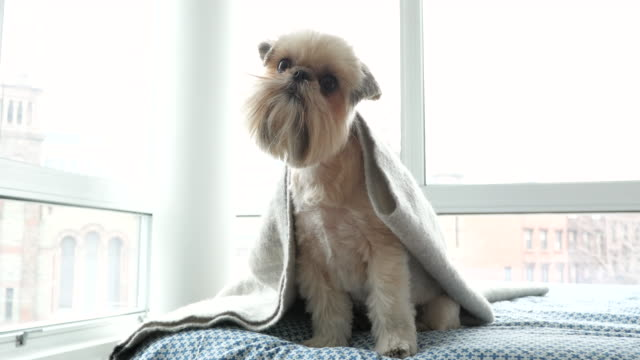 portrait of pet shih tzu brussels griffon mix dog - bed sheets stock videos & royalty-free footage