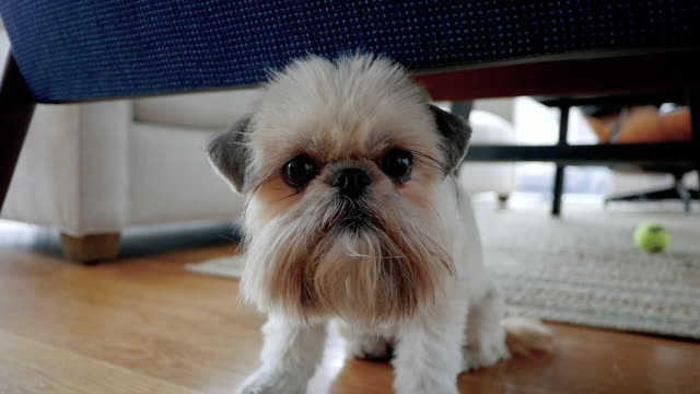 portrait of pet shih tzu brussels griffon mix dog - カーペット点の映像素材/bロール