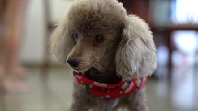 vídeos de stock e filmes b-roll de portrait of poodle dog at festa junina - dança quadrada