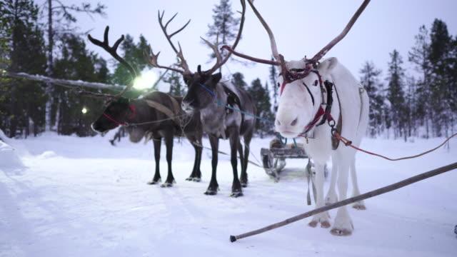 雪の風景にそりをするトナカイの肖像画 - 家畜点の映像素材/bロール