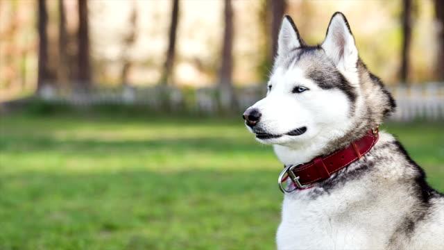 portrait of siberian husky in profile. dog looks away. - collar stock videos & royalty-free footage