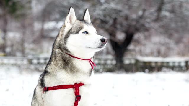Porträt von Sibirischer Husky auf dem Hintergrund der verschneite Landschaft.