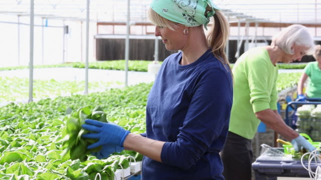 MS DS Portrait of Small Business Owner in Hydroponic Lettuce Farm Greenhouse / Richmond, Virginia, United States