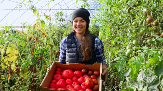 vídeos de stock e filmes b-roll de ms portrait of smiling organic female farmer holding box of freshly harvested tomatoes in greenhouse - legumes