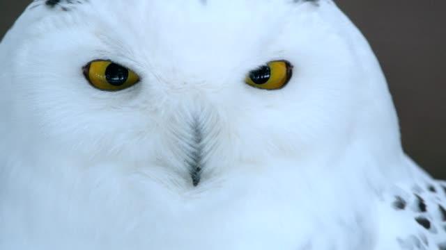 portrait of snowy owl, bubo scandiacus, germany - snowy owl stock videos and b-roll footage