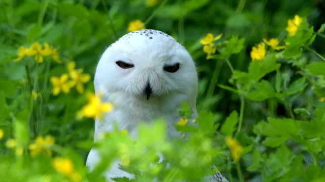 Portrait of Snowy owl, Bubo scandiacus in spring