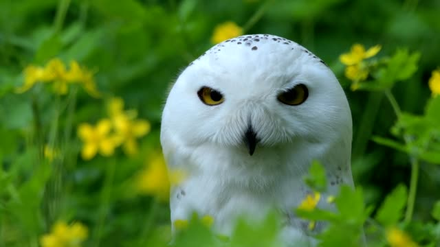 portrait of snowy owl, bubo scandiacus - snowy owl stock videos and b-roll footage